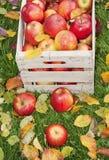 苹果在庭院里 库存照片