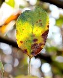 苹果在树的秋天叶子特写镜头在初期早晨 库存照片
