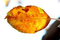 苹果在树的秋天叶子特写镜头在初期早晨 免版税库存照片