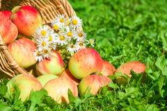 苹果在绿草的一个庭院里 库存照片
