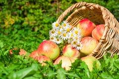 苹果在绿草的一个庭院里 免版税库存图片