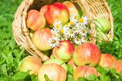 苹果在绿草的一个庭院里 库存图片