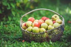苹果大篮子  库存图片