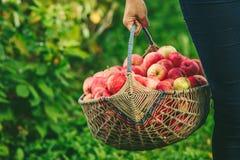 苹果大篮子  免版税库存图片