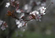 苹果小树枝与花特写镜头的 白色颜色花类似于佐仓 免版税库存照片
