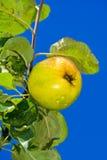 苹果小滴水 库存图片