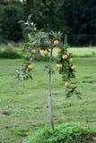 苹果小的结构树 免版税库存图片