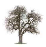 苹果干燥结构树 库存照片