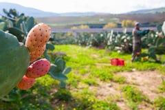 苹果庭院地面收获成熟时间结构树 免版税图库摄影