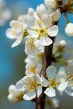 苹果开花中间春天 库存照片