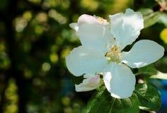 苹果开花关闭开花结构树 库存图片