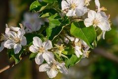 苹果开花关闭开花结构树 图库摄影
