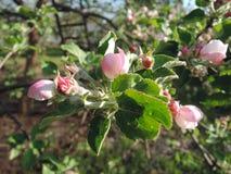 苹果开花关闭结构树 明媚的阳光 免版税库存图片