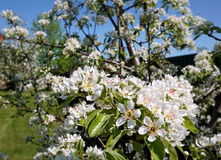 苹果开花关闭结构树 免版税图库摄影