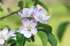 苹果开花关闭结构树 免版税库存照片