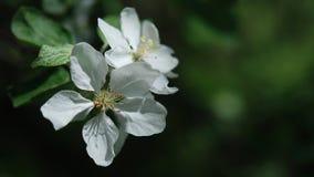 苹果开花关闭结构树 库存图片