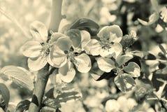 苹果开花庭院照片春天 葡萄酒样式乌贼属图象 免版税库存图片