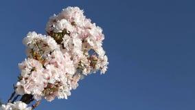 苹果开花庭院照片春天
