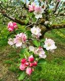 苹果开花庭院照片春天 免版税库存照片