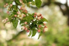 苹果开花庭院照片春天 库存图片