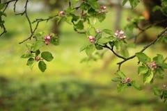 苹果开花庭院照片春天 图库摄影