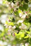 苹果开花庭院照片春天 免版税库存图片