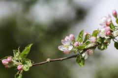 苹果开花早期的春天 免版税库存照片