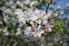 苹果开花特写镜头春天 库存照片