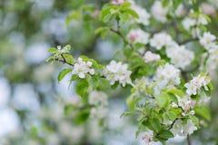 苹果开花的分行结构树 被弄脏的背景 特写镜头, selecti 免版税图库摄影