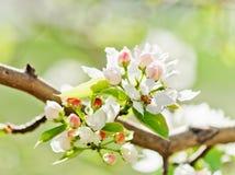 苹果开花的分行结构树 免版税库存照片