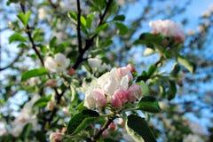 苹果开花的分行结构树 库存图片