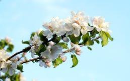 苹果开花的分行结构树 免版税库存图片