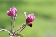苹果开花的春天分行  库存照片