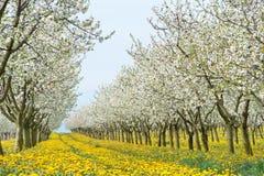 苹果开花的果树园 库存图片