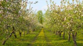 苹果开花的果树园 库存照片