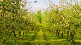 苹果开花的果树园 影视素材
