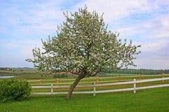 苹果开花的树 库存照片
