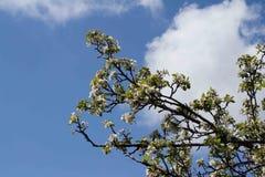 苹果开花的看法在背景的春天天空 库存图片
