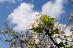 苹果开花的看法在背景的春天天空 免版税库存图片