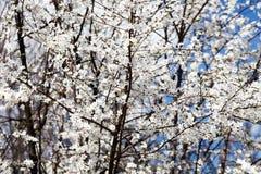 苹果开花的结构树 反对蓝天的分支 免版税图库摄影