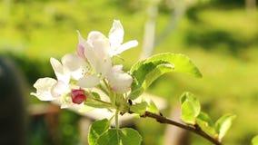 苹果开花的结构树 宏观在风的射击白花 股票录像