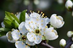 苹果开花的结构树 宏观看法白花 美好的横向本质春天 软的背景照片 库存图片