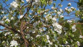 苹果开花的结构树 影视素材