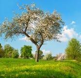 苹果开花的蓝色多云天空结构树 免版税库存图片