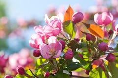 苹果开花的结构树 分行明亮的开花的绿色本质春天结构树 1个看板卡邀请 免版税图库摄影