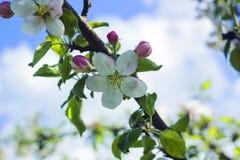 苹果开花的结构树 在分支的苹果计算机花反对蓝天 免版税图库摄影
