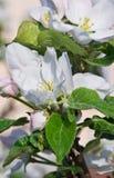 苹果开花的结构树 库存图片
