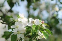 苹果开花的结构树 免版税图库摄影