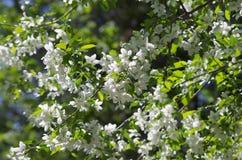 苹果开花的结构树 免版税库存图片