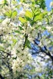 苹果开花的结构树 图库摄影